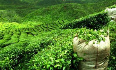 ÇAYKUR yaş çay alımları başladı Pakistan pazarına girmek için çalışma başlattı