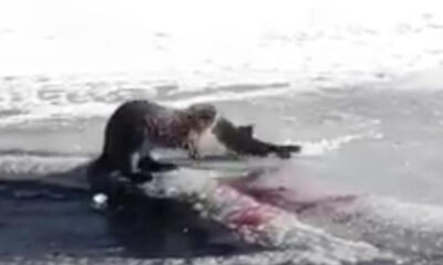 Su samuru, Ardahan'da balık yerken