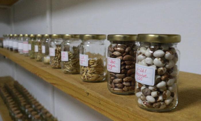 Karadeniz'in ilk tohum bankasında 378 çeşit atalık tohum kaydedildi