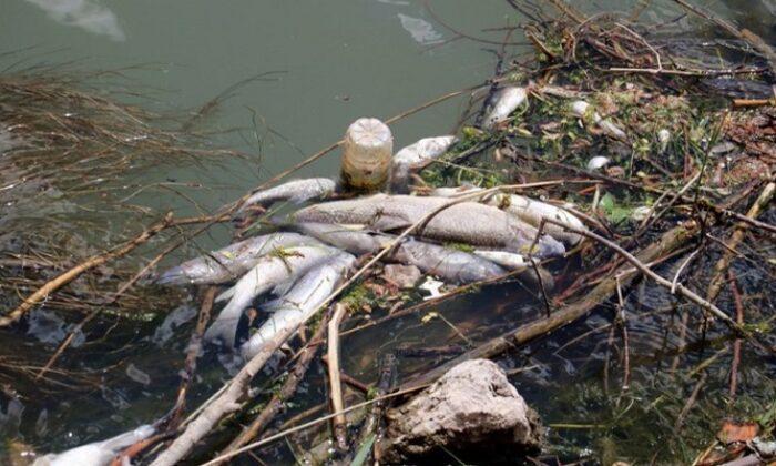 Türkiye'nin en uzun nehri Kızılırmak'ta toplu balık ölümleri