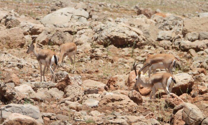 Terörden arındırılan Cudi Dağı'nın etekleri ceylanların yuvası oldu