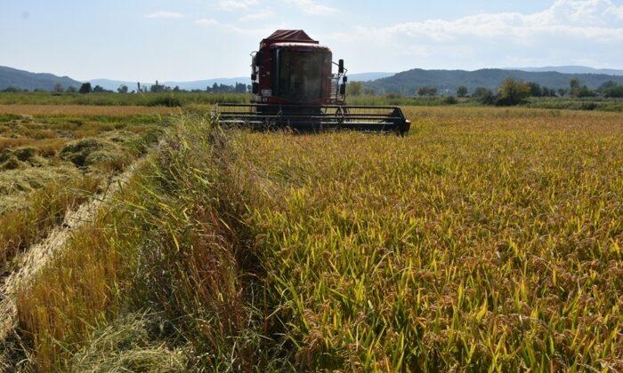Sinop'ta yılın ilk çeltik hasadı yapıldı